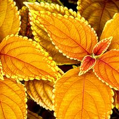 Golden Coleus. Want. Lots of it.
