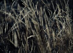 A low high key impression of wild grass photographed in the early evening. This print is available for purchase in three sizes | 40 x 60cm | 60 x 80cm | 80 x 100cm. #artphotographygallery #fineartprints #gallery #photography Photography Gallery, Fine Art Photography, Wild Grass, International Artist, Woodstock, Photographic Prints, Savannah Chat, Fine Art Prints, The Incredibles