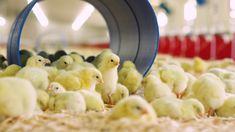 Take the Bell & Evans Broiler Farm Tour Agricultural Land, Chicken Houses, Evans, Transportation, Tours, Food, Chicken Coops, Essen, Meals