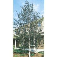 11 1 Gallon Single Trunk European White Birch Feature Tree L8444 Nursery Lowe S