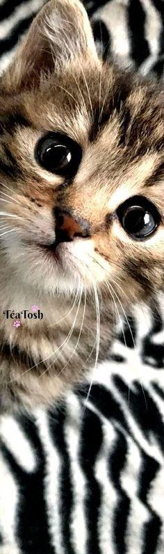 Adorable brown tabby kitten. #TabbyCat