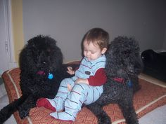 Linkin, Jessie and Shelby. Standard Poodles, Cute Baby Pictures, Jessie, Cute Babies, Dogs, Animals, Animales, Animaux, Pet Dogs