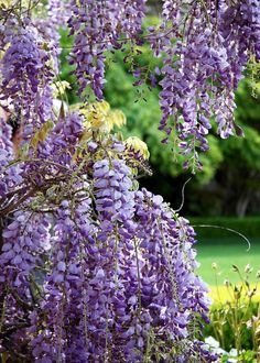 Wisteria   fine art nature photography   by CameraQueenPhoto, $15.00