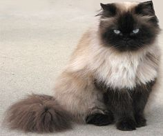 Himalayan Cat = Persian+Siamese - Different type of cats Catsincare.com