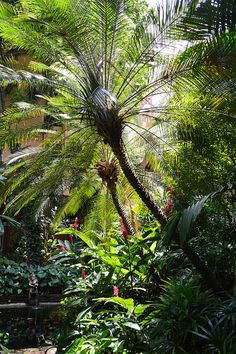 Jim Thomsons House and Garden, Bangkok, Thailand - Pygmy Date Palm Mature - Nice Palm Trees #RealPalmTrees realpalmtrees.com  Tropical Paradise Awaits