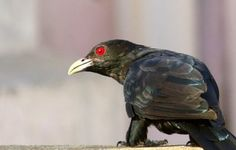 Asian Koel Male rooftop shot Canon Photography sample Image