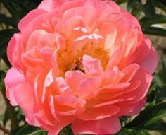 Coral Sunset - Peonies - Flowers and Fillers - Flowers by category | Sierra Flower Finder