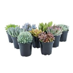 Grower selected specialty Succulents perfect for creating unique container gardens.