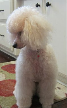 I did it! The Royal Dutch (or The Town & Country)... - Poodle Forum - Standard Poodle, Toy Poodle, Miniature Poodle Forum ALL Poodle owners ...
