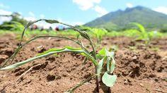 Cultivos de café y maíz con más afectaciones en Sierra Norte