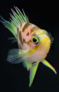 Favorite Fish of All Time Weird Sea Creatures, Beautiful Sea Creatures, Ocean Creatures, Animals Beautiful, Underwater Creatures, Underwater Life, Colorful Fish, Tropical Fish, Pretty Fish