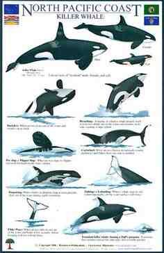 Field Guide to the Orcas of the North Pacific. Orcas, Le Morse, Animals And Pets, Cute Animals, Strange Animals, Under The Water, Parc A Theme, Save The Whales, Ocean Creatures