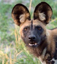 "Fluffy tufts of hair in this wild dog's ears, such a beauty. #painteddog #wilddog #90daysinthebush #Dumatau #Linyanti @wearewilderness…"""