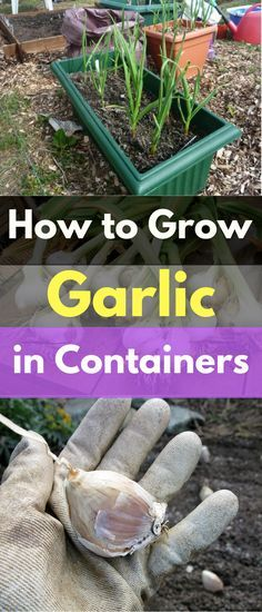 Garlic has to be the easiest thing to grow. You can plant it in pots, in the ground, in empty milk jugs. Really, any container will do. Regular water and fertilizer are all it needs. Today I am going to show you how easy it is to Grow Garlic in a Container. October is the …