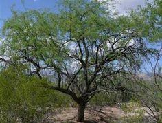 How to Identify a Tree in Arizona - Arizona Mesquite (Prosopis velutina)