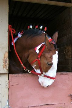 Budweiser Clydesdale Standing in His Stall; Love This Horse's Wide White Blaze & Nose. Big Horses, Horses And Dogs, Horse Love, Animals And Pets, Cute Animals, All The Pretty Horses, Beautiful Horses, Animals Beautiful, Clydesdale Horses Budweiser