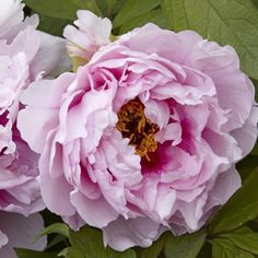 """<p> <span style=""""color: rgb(0, 0, 0); font-style: italic;"""">Paeonia suffructicosa</span><br /> <br /> 'Rose Flame' has brilliant, semi-double to double, classic lush pink blooms.</p> <p> The Tree Peony is the national flower of China, and long revered as """"The King of Flowers"""". They are thought to represen..."""
