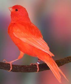 Was man einen Red Factor Canary füttert - Canaries - Tier Pretty Birds, Love Birds, Beautiful Birds, Small Birds, Colorful Birds, Canary Birds, Serin, Funny Cats And Dogs, Bird Pictures