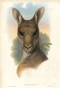 Animal - Animal head - Kangaroo - Mammals of Australia December Solstice, Australia Kangaroo, Australian Painting, Printable Animals, Bar Art, Australian Animals, Animal Heads, Blue Mountain, Animal Drawings
