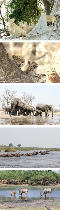 Sightings at Kings Pool Camp in the Linyanti Wildlife Reserve in Botswana in October 2013
