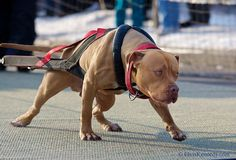 Dog pull contest dur