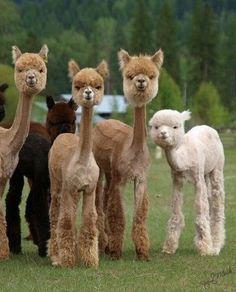 Llama shave this - daylol.com