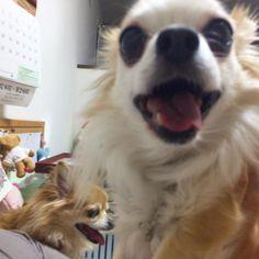 ちゃあを撮ろうとしたらニパっと割りこまれました  #割り込みOK #dekachiwa #chihuahua #dog #チワワ #ふわもこ部 #chihuahuaofinstagram