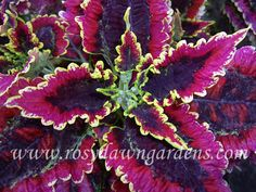 This page is coleus heaven! Hundreds of variants can be ordered! Coleus Care, Organic Gardening Catalogue, Shade Garden Plants, Garden Pots, Garden Online, Plant Catalogs, Foliage Plants, Garden Projects, Garden Ideas