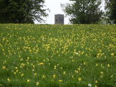 Cowslips on Meadow Lawns at Calke, Derbyshire.  Taken by Carl Hawke, 30 April 2014