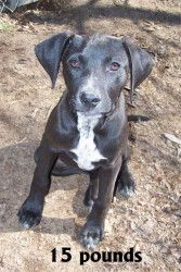Gabby is an adoptable Weimaraner Dog in North Augusta, SC. Gabby is a great puppy! As of 2/20/12, she is about 13 weeks old. She has been microchipped and is current on all vaccinations. To adopt this...
