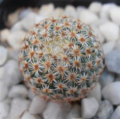 Mammillaria crucigera Cactusloft