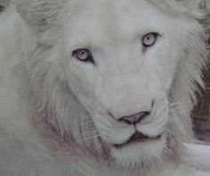 White lion at the Toledo zoo. Beautiful animal.