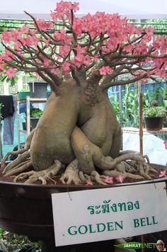 Image from http://www.jamrat.net/uploadfiles/images/DSCF0400.JPG.