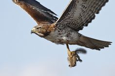 """""""Red-Tailed Hawk + Squirrel II/II Slightly cropped! The squirrel got eaten in about 10 minutes! Wyoming, Animal Eating, Perfectly Timed Photos, Red Tailed Hawk, Baby Squirrel, Mundo Animal, Birds Of Prey, Cute Baby Animals, Wild Animals"""