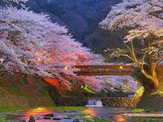 Beautiful Cherry Trees In Kyoto Japan