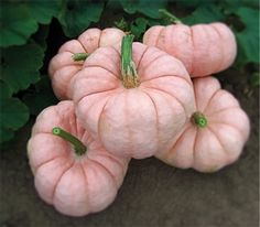 Pink Pumpkins seeds... order to grow for the fall!
