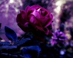 Rose, Knospe, Blätter, rot, dunkelviolett, lila, Blumen, Blätter, Unschärfe, Makro, Natur Vektorgrafik