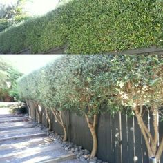 New Olive Tree Courtyard Fence Ideas Garden Hedges, Garden Trees, Trees To Plant, Red Oak Tree, Red Maple Tree, Modern Landscaping, Outdoor Landscaping, Fresco, Birch Tree Mural