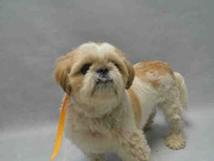 Super Urgent Brooklyn - GIZMO - #A0916065 - **RETURNED 11/22/16** - NEUTERED MALE WHITE/TAN SHIH TZU, 5 Yrs - STRAY - HOLD FOR ID Reason STRAY - Intake 11/20/16 Due Out 11/27/16 - greets, appreciates attention, allows all handling
