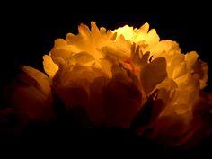 Ваше тотемное растение - ПИОН (13 - 22 ноября). Обсуждение на LiveInternet - Российский Сервис Онлайн-Дневников
