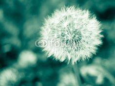 Dandelion - monochroom