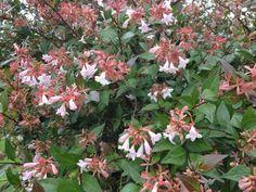 Evergreen Garden, Summer Flowers, Garden Ideas, October, Italy, Plants, Pink, Italia, Landscaping Ideas