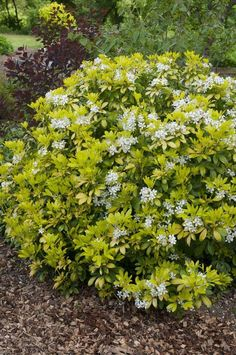 A favourite low maintenance shrub, this really stands out in the garden, thanks to its bright yellow foliage. Produces a show of fragrant white flowers in early summer and sometimes again in autumn too. Being evergreen, its particularly suited for use i Garden Shrubs, Garden Plants, Garden Landscaping, Front Porch Design, Porch Designs, Low Maintenance Shrubs, Evergreen Bush, Garden Living, Drought Tolerant