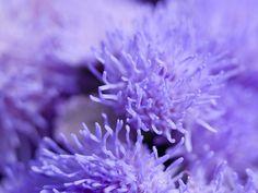 Ageratum by Lloyd K. Lilac, Lavender, Purple Garden, My Favorite Color, Favorite Things, Purple Reign, All Things Purple, Photography Photos, Purple Flowers