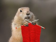 when phil didn't see his shadow, he began to knit a sweater for the 6 more weeks of winter