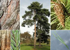 Mänd. Pinus sylvestris. The most common tree in Estonian forests.