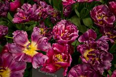 Margarita tulips bloom inside the Mediterranean Biome at the Eden Project in Cornwall, England
