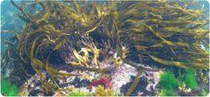 Descubre las principales propiedades de las algas de mar. #nutrición #vitaminas #saludable