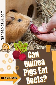 Beets, also called beetroot or table beet, are an excellent source of nutrients for the body. But how good are beets for our guinea pigs? Is beetroot safe for our guinea pigs? As a curious guinea pig owner, I did some research, and here is what I found out. #guineapig101 #guineapigseatbeetroot #guineapigseat #guineapigcare #guineapigsdiet Guinea Pig Food, Pet Guinea Pigs, Guinea Pig Care, Guinea Pig Information, Pigs Eating, Cooking Beets, Red Beets, Pet Lovers, Beetroot