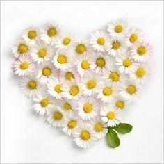 Coeur de marguerites par Lily ROSE Carte de voeux Nouvelles Images